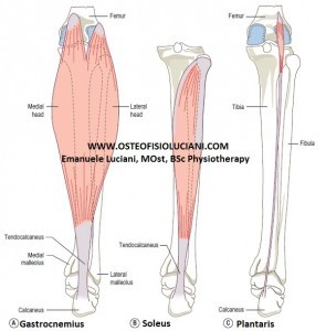 anatomy calf muscles